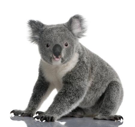 koalabeer: Jonge koala, Phascolarctos cinereus, zitten 14 maanden oud, voor witte achtergrond