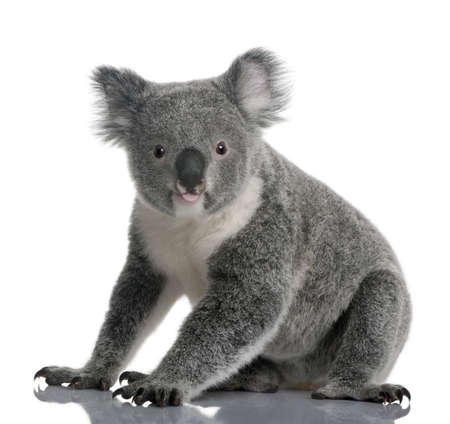 Young koala, Phascolarctos cinereus, 14 months old, sitting in front of white background Stock Photo - 7121552