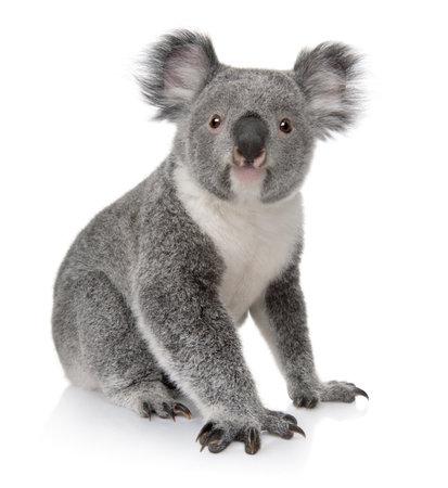 koalabeer: Jonge koala, Phascolarctos cinereus, zit 14 maanden oud, van witte achtergrond  Stockfoto