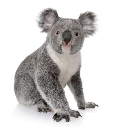 animal species: Young koala, Phascolarctos cinereus, 14 months old, sitting in front of white background