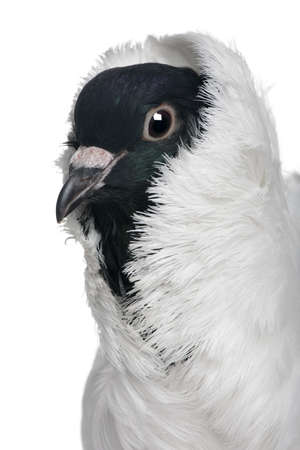 German helmet with feathered feet pigeon in front of white background photo