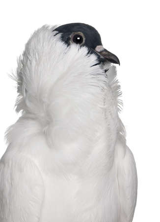feathered: German helmet with feathered feet pigeon in front of white background