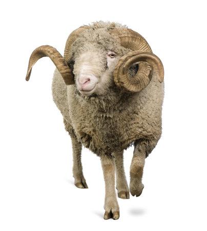Arles Merino sheep, ram, 5 years old, walking in front of white background photo