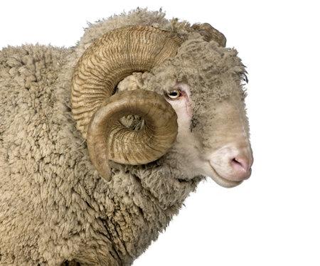 carnero: Ovejas Merino de Arles, ram, 5 a�os de edad, en frente de fondo blanco
