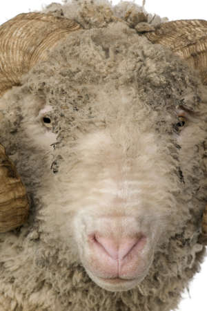 Close-up of Arles Merino sheep, ram, 5 years old, in front of white background photo