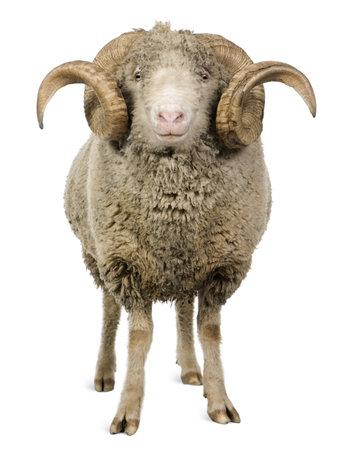 Arles Merino schapen, ram, 5 jaar oud, staande in voorzijde van de witte achtergrond