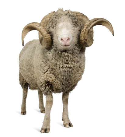 Arles Merino sheep, ram, 5 years old, standing in front of white background photo