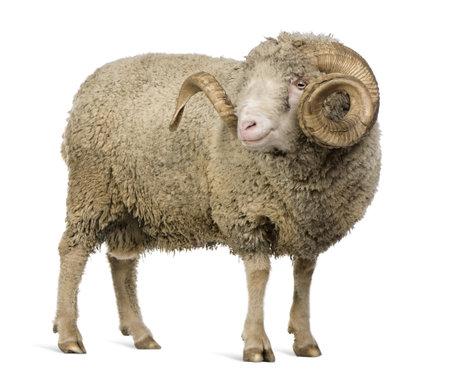 ram: Arles Merino sheep, ram, 5 years old, standing in front of white background