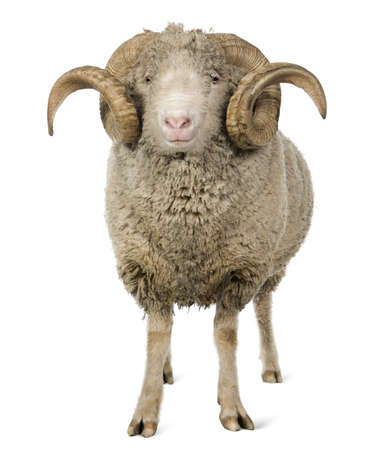animals horned: Arles Merino sheep, ram, 5 years old, standing in front of white background