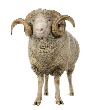 arles: Arles Merino sheep, ram, 5 years old, standing in front of white background