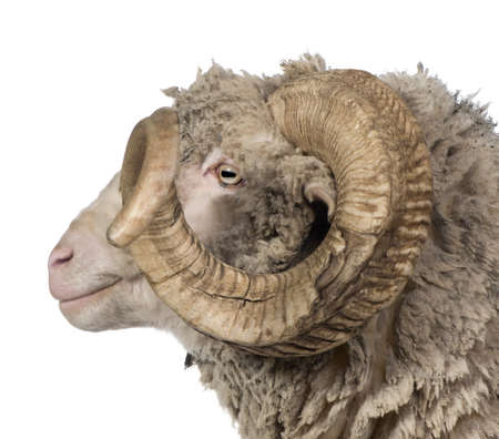 Side view of Arles Merino sheep, ram, 5 years old, in front of white background photo