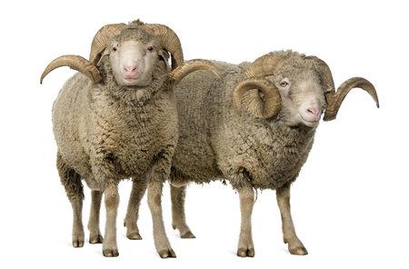 pecora: Due pecore Arles Merino, arieti, in piedi davanti a sfondo bianco  Archivio Fotografico