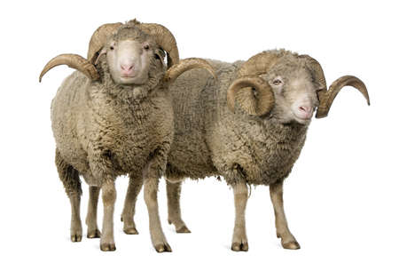 Two Arles Merino sheep, rams, standing in front of white background photo