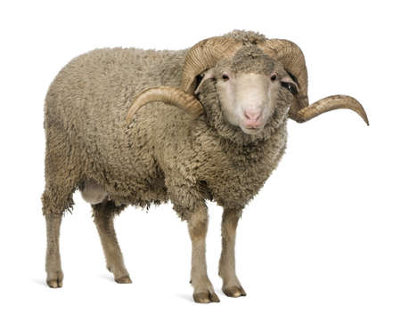 carnero: Ovejas Merino de Arl�s, ram, 3 a�os de edad, de pie delante de fondo blanco