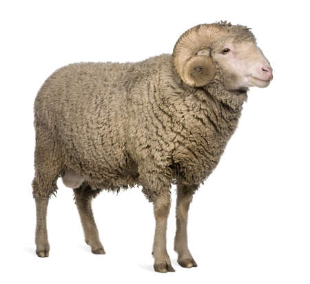ram sheep: Arles Merino sheep, ram, 3 years old, standing in front of white background Stock Photo