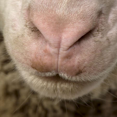 merino: Close-up of Arles Merino sheep nose and mouth