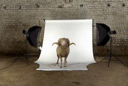 Arles Merino sheep, ram, 3 years old, standing in photo shoot studio photo