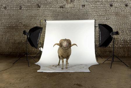 carnero: Ovejas Merino de Arles, ram, 3 a�os de edad, de pie en el estudio de rodaje de foto Foto de archivo