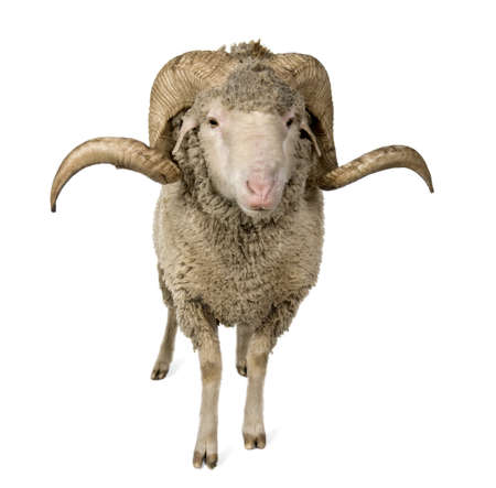 1 year old: Arles Merino sheep, ram, 1 year old, standing in front of white background