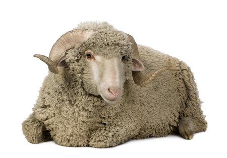 carnero: Ovejas Merino de Arl�s, ram, 1 a�o de edad, sentado frente a fondo blanco