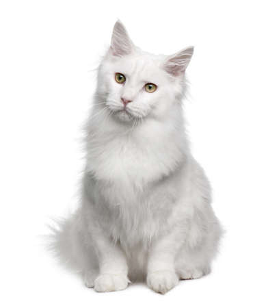 white cats: Turkish Angora (18 months old) in front of a white background