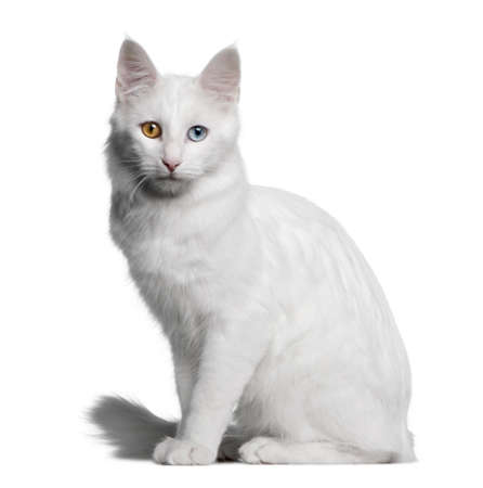 domestic cat: Turkish Angora (18 months old) in front of a white background