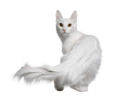 Turkish Angora (18 months old) in front of a white background photo