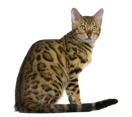 bengal cat: Bengal kitten (7 months old) in front of a white background