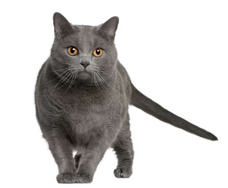 Chartreux (3 years old) in front of a white background photo