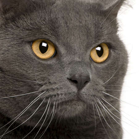 close up of a Chartreux (3 years old) Stock Photo - 7120375