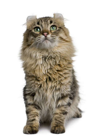 american curl: American Curl (8 months old) in front of a white background