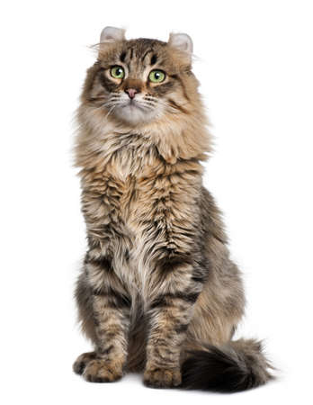 American Curl (8 months old) in front of a white background photo