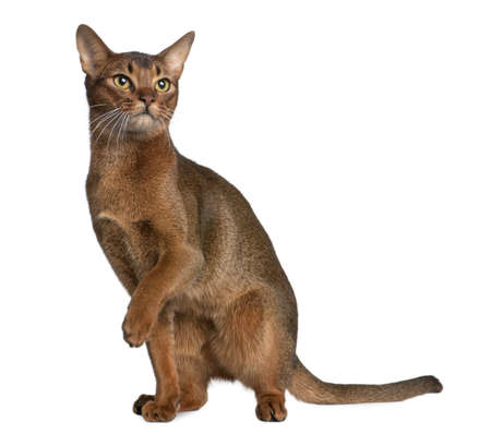 abyssinian cat: Abyssinian (9 months old) in front of a white background