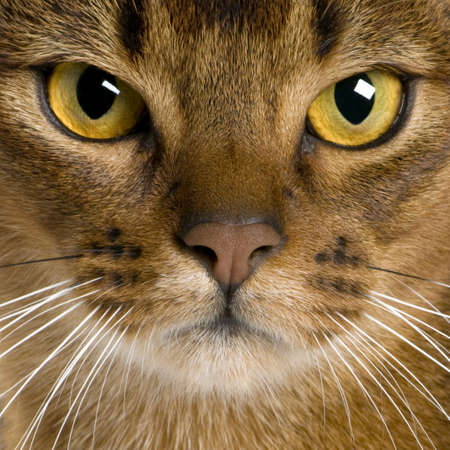 9 months old: close up of a Abyssinian (9 months old) Stock Photo
