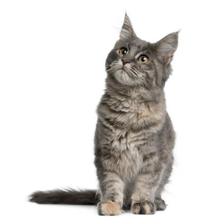 maine coon: Maine coon chaton, 4 mois, assis devant fond blanc