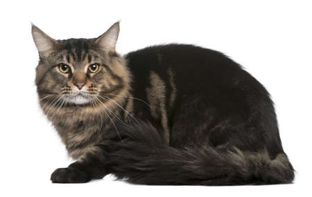 Maine coon, 20 months old, sitting in front of white background Stock Photo - 7121186