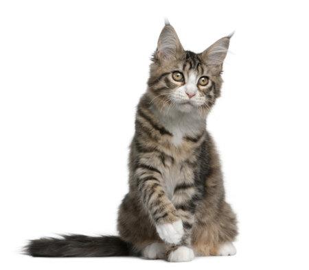 maine cat: Maine coon gatito, 4 meses de edad, sentado frente a fondo blanco