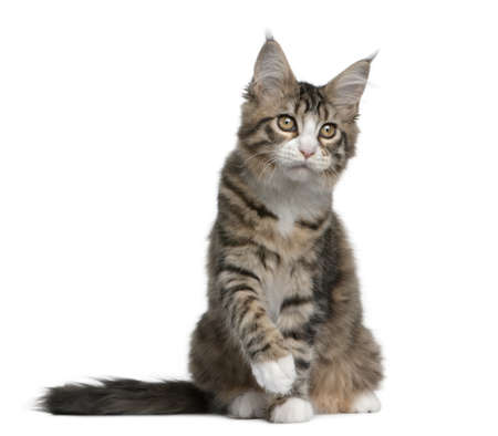 gray cat: Maine coon kitten, 4 months old, sitting in front of white background Stock Photo