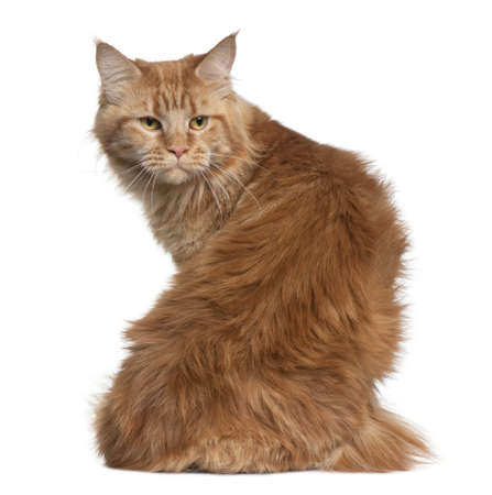 coon: Maine coon, 15 months old, sitting in front of white background Stock Photo