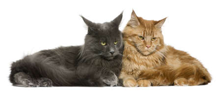 coons: Two Maine coons, 15 months old, sitting in front of white background