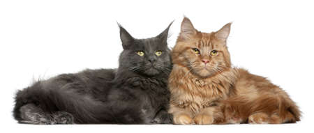 maine cat: Two Maine coons, 15 months old, sitting in front of white background