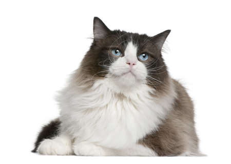 Ragdoll cat sitting in front of white background Reklamní fotografie