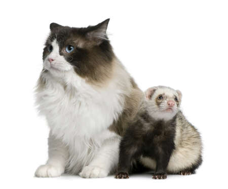 Ragdoll cat and a ferret sitting in front of white background photo
