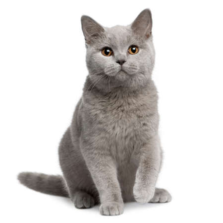 British shorthair cat, 7 months old, sitting in front of white background Stock Photo - 7121035