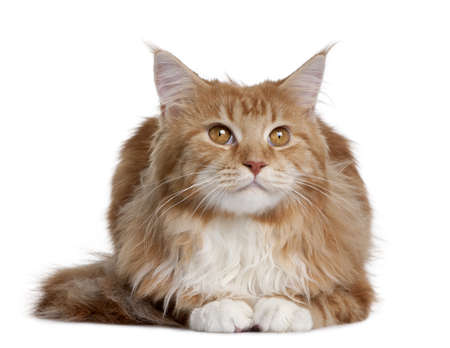 coon: Maine Coon kitten sitting in front of white background Stock Photo