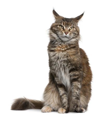 maine coon: Maine coon chat, 3 ans, assis devant blanc arri�re-plan
