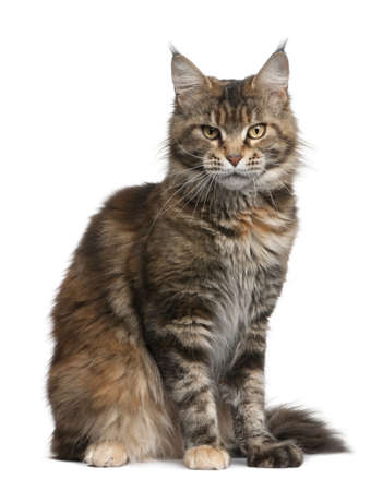 Maine coon cat, 3 years old, sitting in front of white background photo