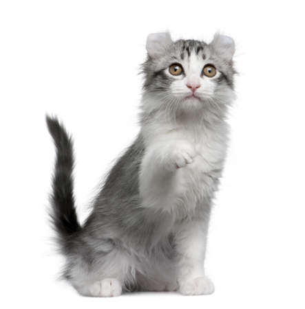 American curl kitten, 11 weeks old, sitting in front of white background photo
