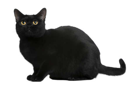 black out: Bombay cat, 8 months old, sitting in front of white background