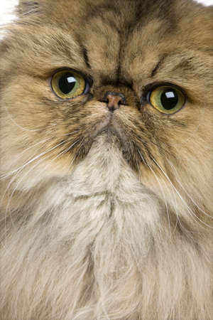 Close-up of British shorthair cat, 11 months old photo